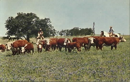 texas cattle